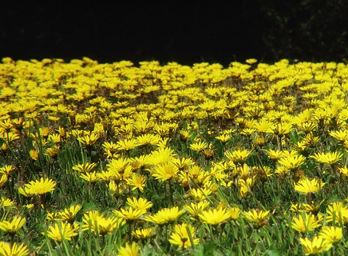 dandelions at mendocino