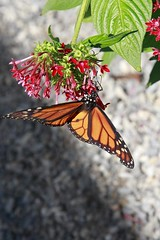 Some more Butterflies - Hangin Out (SomeGuyinSimi) Tags: color nature butterfly pretty texas heard buttterflies