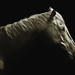 Equus caballus by zeissizm