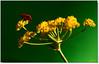 My Name is Red... / Benim Adım Kırmızı... (Kuzeytac) Tags: red flower color colour green nature yellow turkey bug insect geotagged bright türkiye turkiye explore stinkbug geotag fennel leyla assos shieldbug çiçek yeşil sarı lsi böcek kırmızı doğa tabiat çanakkale graphosomaitalicum canoneos400d canoneosdigitalrebelxti ayvacık rezene friendlychallenges kuzeytac beautifulmonsters raziyane copyrightedallrightsreserved aqualityonlyclub