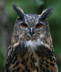 Eagle-owl - Uhu (pe_ha45) Tags: grandduc owl vgel raptors birdsofprey raubvogel uhu bubobubo eagleowl eule greifvogel specanimal abigfave guforeale theperfectphotographer greifvogelgehegebispingen bboreale