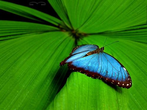 blue morpho butterfly (gwennie, gwen, gwen)