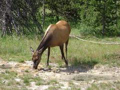 Yellowstone NP (Hélène_D) Tags: park usa animal nationalpark montana mt deer yellowstonenationalpark yellowstone wyoming np parc westthumb wy yellowstonenp parcnational westthumbgeyserbasin hélèned