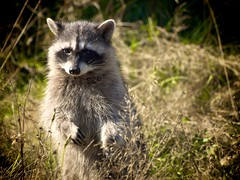Street Critter (Joel Kluger (Canis latrans)) Tags: animal backyard flickr critter coon urbanwildlife pacificnorthwest racoon 70300mm olympiawashington