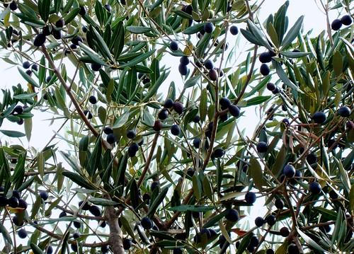 olive3bis