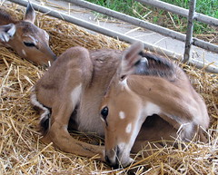 100 Things to see at the fair #65: Deer