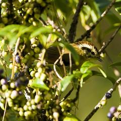 Rufous-winged Fulvetta - Alcippe castaneceps (Michael Gillam) Tags: fbwadded fulvetta alcippecastaneceps rufouswingedfulvetta