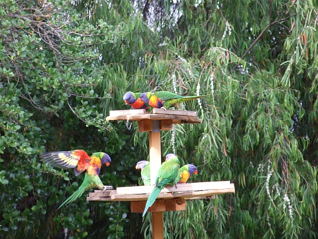 rainbow lorikeets in action 01