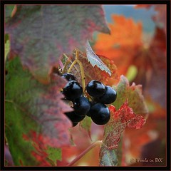 Autumn Grapes (Ursula in Aus (Away)) Tags: autumn black france wine grapes languedoc pyrnesorientales pyrennees sentiercathare languedocroussilon padern cathartrail catharepath
