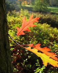Enjoy (langkawi) Tags: autumn light fall colors leaves licht oak herbst langkawi blätter farben naturesfinest theperfectphotographer