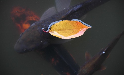 Cherry Leaf with Koi