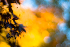abstract (nosha) Tags: blue autumn trees red plants usa plant tree fall colors leaves yellow wednesday happy japanese leaf newjersey maple nikon october focus soft branch dof bokeh branches nj seed seeds mercer japanesemaple dots 2008 mercercounty 171 d300 nosha hbw bokehdots october2008