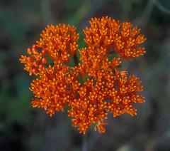 Butterfly Weed (ericmenendez) Tags: flowers orange appalachiantrail butterflyweed trail:name=appalachiantrail trail:mile=530