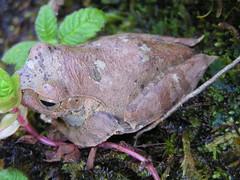 Boophis madagascariensis (Madagascar Bright-eyed Frog) (Arthur Chapman) Tags: frogs madagascar ranomafana anura amphibia madagascariensis taxonomy:class=amphibia taxonomy:order=anura boophis geocode:accuracy=1000meters geocode:method=googleearth geo:country=madagascar boophismadagascariensis madagascarbrighteyedfrog taxonomy:genus=boophis taxonomy:common=madagascarbrighteyedfrog taxonomy:binomial=boophismadagascariensis