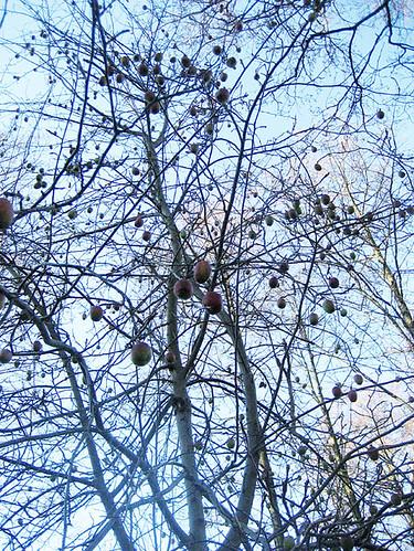 Jättehögt fruktträd
