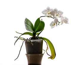 Backlight (mahonyweb) Tags: orchid flower backlight interestingness interesting naturallight explore squarecrop lightroom top500 flickrexplore primelens magicdonkey 85l canoneos1dsmarkiii canon1dsmarkiii canon85mmf12ii