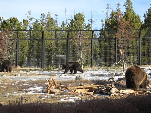 montana - trapped bears