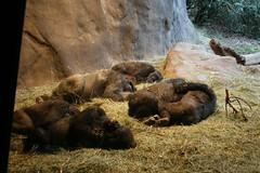 Snuggle Gorillas