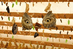 Butterflys Hatching