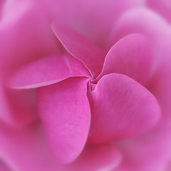 the deeper i know you (ajpscs) Tags: pink flower macro love beauty rose japan japanese tokyo petals nikon deep inner explore chiba experience  nippon  shrub meet encounter maturity d300  pricklybush ajpscs damniwishidtakenthat