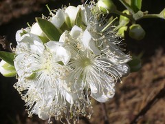 Flor annima (.lost.and.found.) Tags: flower branco flor cerrado blanc