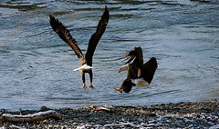 Two Eagles, One Salmon (NetDep) Tags: county winter washington eagle baldeagle skagit americanbaldeagle skagitcountywashington