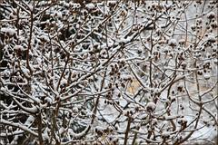 Spring Dreams vs. Reality (AnyMotion) Tags: schnee winter snow germany garden hessen frankfurt hibiscus garten 2009 hibiskus nordend anymotion canoneos5dmarkii frankfurtnordend 5d2