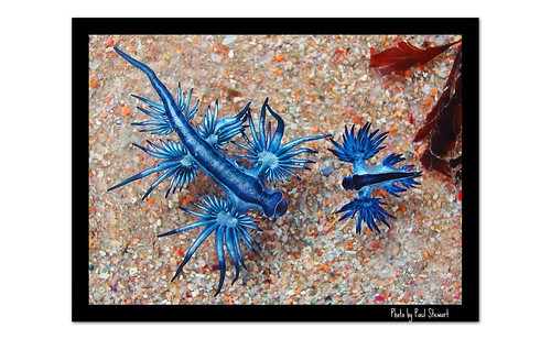 Glaucus atlanticus and Glaucilla marginata  - AUSTRALIA 1 DSCN4137 copy