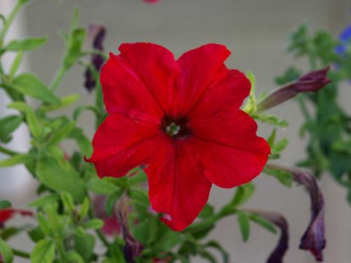 Petunia H.