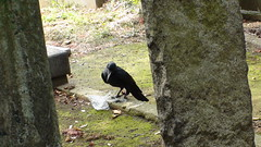 Crow in Yanaka Cemetery Tokyo