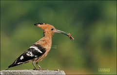 Happy mother's day! (Sandeep Somasekharan) Tags: bird death spider trapped nikon feeding sandy mother eaten 300mm catch prey nikkor karnataka caught mysore upupaepops predation commonhoopoe d300s sandeepsomasekharan sandyclix