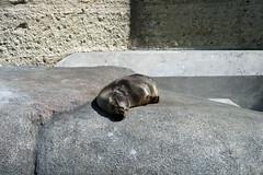 Junger Seelöwe