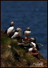 """ Living On The Edge "" (Jerry Mouland) Tags: sea water birds animals newfoundland wildlife shoreline puffin puffins animalplanet elliston atlanticpuffin canon500d canont1i"