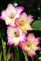 (Panayotis1) Tags: flowers nature greece plantae gladiolus iridaceae  swordlily  asparagales imathia aggelochori  gladioluscommunis canonef100mmf28lmacroisusm