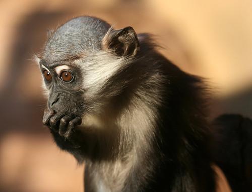 フリー画像| 動物写真| 哺乳類| 猿/サル| マンガベイ| 考える/悩む|      フリー素材|