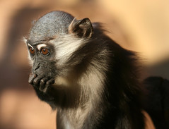 [フリー画像] [動物写真] [哺乳類] [猿/サル] [マンガベイ] [考える/悩む]      [フリー素材]