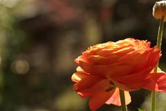 春の陽、燦々 / Persian buttercup