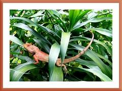 Calotes versicolor (Garden Fence Lizard) on our Dracaena deremensis, a NOID garden variety