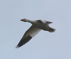 Snow Goose (moonm) Tags: birds geese snowgeese gaggle
