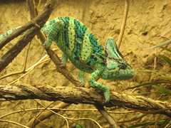 Funny looking chameleon