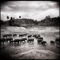 elephant river (sgoralnick) Tags: travel vacation blackandwhite film mediumformat river square holga asia elephants srilanka vignetting ilford pinnawela southasia ilforddeltapro400 pinnawelaelephantorphanage