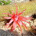 Stary Pink Delight. Morangaya [or Echinocereus] pensilis, not Cleistocactus winteri) from Baja California Sur, Mexico