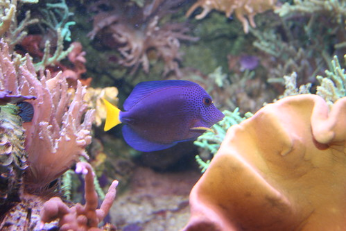 PurpleTang (Yellowtail Surgeonfish)