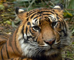 Portrait Of Tiger Majesty (ianmichaelthomas) Tags: friends sumatra indonesia tigers melbournezoo sumatrantiger bigcats smorgasbord royalmelbournezoo fpc sumatrantigers animaladdiction specanimal goldenmix avisittothezoo animalcraze superbmasterpiece worldofanimals auselite naturewatcher wonderfulworldmix sumatranwildlife wildlifeofindonesia itsazoooutthere qualitypixels llovemypics flickrlovers vosplusbellesphotos flickrbigcats wildcatworld flickrsbestcreatures