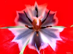 Il cuore di un tulipano... (fasara) Tags: flowers red macro art primavera nature colors arte sony natura explore fiori rosso colori cuore tulipani fasara