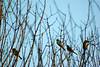 Notas musicais (flaviochan) Tags: bird passarinho pássaros galhos pardal buenodeandrada aficionados fimdetarde aficinonados