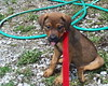 Louise (muslovedogs) Tags: dogs puppy mastweiler