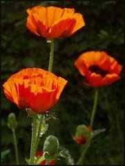 The three Ladies (Kirsten M Lentoft) Tags: orange sunlight flower bravo poppy soe themoulinrouge firstquality imagepoetry momse2600 infinestyle diamondclassphotographer frhwofavs multimegashot mmmmmmuaaahhhhhh seeyoudearest atqueartificia metootoomuchsportstoday mmmmuahhhhh kirstenmlentoft