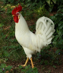 Pearl White Leghorn Rooster