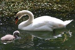 gkt_IMG_4774C (somersetman) Tags: wells somerset swans cygnets